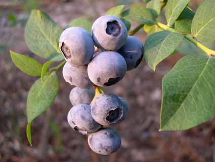 Blueberry - Vaccinum spp. | Fruit Crops