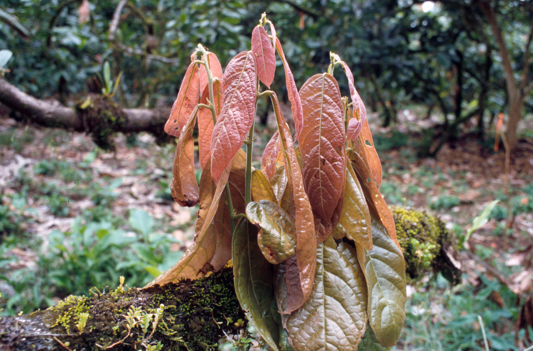 theobroma cacao the tree chocolate is made from Cacao beans, how is chocolate made, chocolate facts how beans become  all chocolate starts its life as cacao-beans growing inside a pod on a theobroma cacao tree.