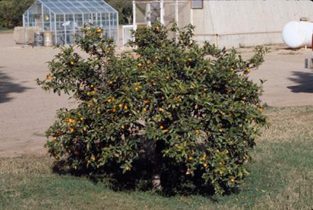Lemon Lime Orange Tangerine Grapefruit Fruit Crops