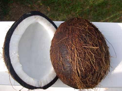 coconut cocos nucifera fruit crops