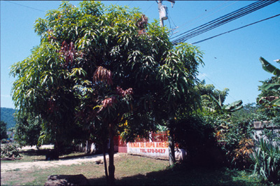 autobiography of a mango tree The autobiography of a mango tree once a child threw the stone haphazardly  on the ground after eating a mango it got buried under the.