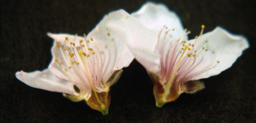 how to look after prunus persica flower
