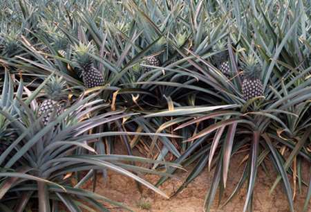 how many pineapples per plant